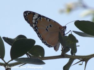 Plain Tiger (Danaus chrysippus) Butterfly