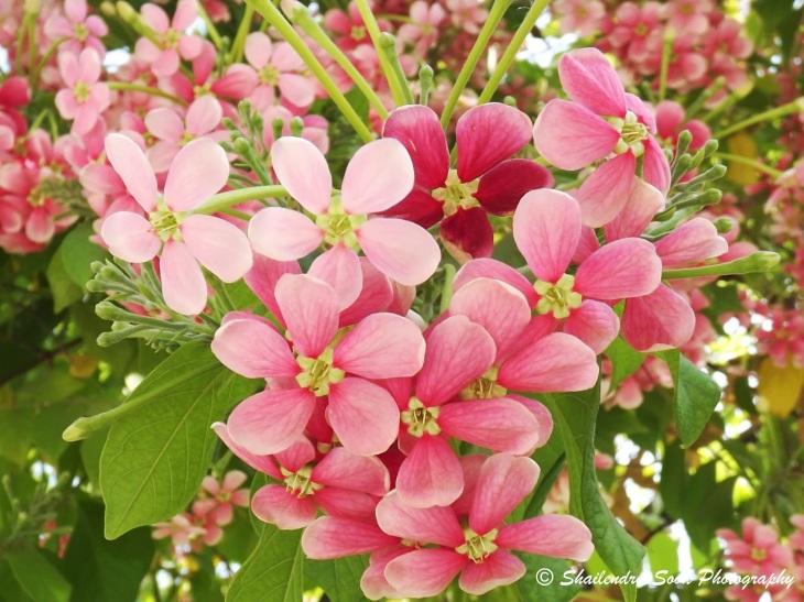 Madhumalti flower (combretum indicum)