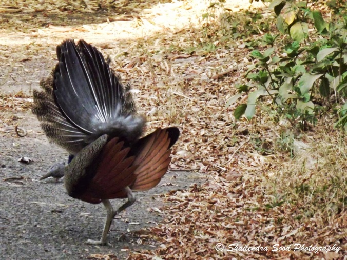Peacock dance 3