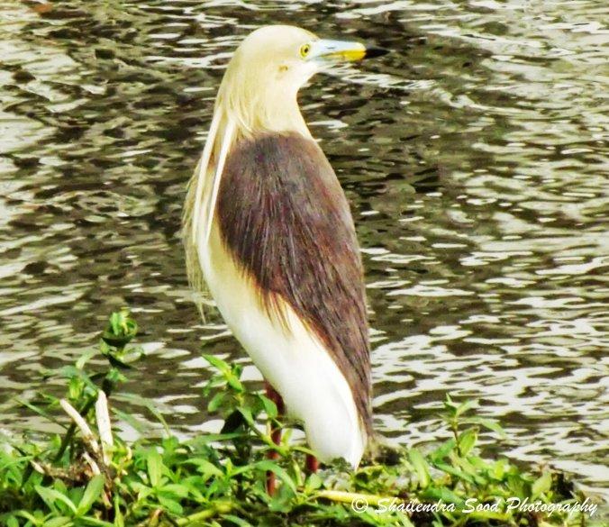 Indian pond heron