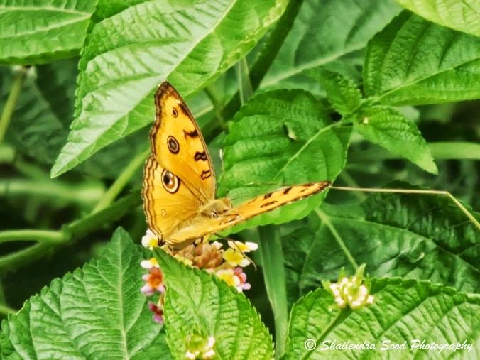 Peacock Pansy (Junonia almana) butterfly 1