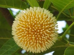 Kadam flower